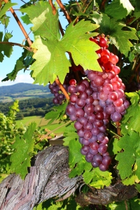 Weinbau Krobath